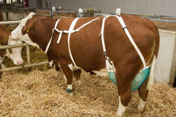 Zitzenschutz mit Nackengurt, Groß, Euternetz zur Begrenzung von Zitzenverletzungen bei Kühen
